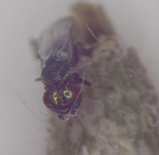 Cecidomyiidae, gall on Lead plant, waspX emerge