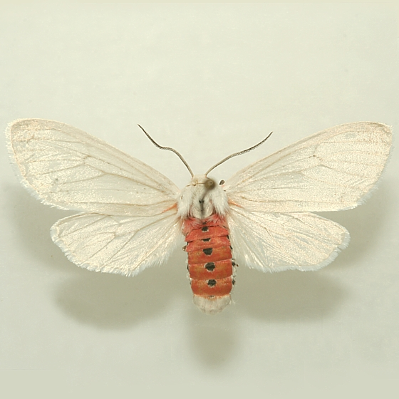 Pinned Adult - Euchaetes elegans - female