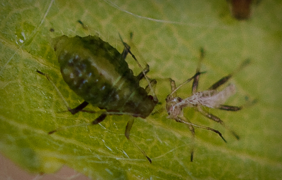 Green Aphid on Willow - Chaitophorus