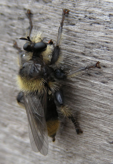 Robber Fly - Laphria columbica - female