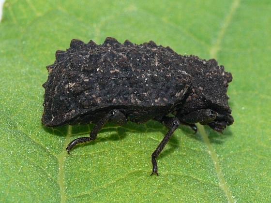 beetle - Bolitotherus cornutus