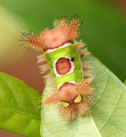 Saddleback Caterpillar - Acharia stimulea