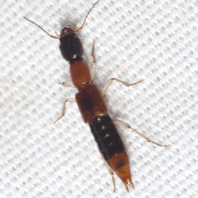 Rove Beetle - Homaeotarsus bicolor