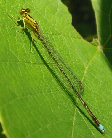 Another Damsel - Enallagma vesperum - male
