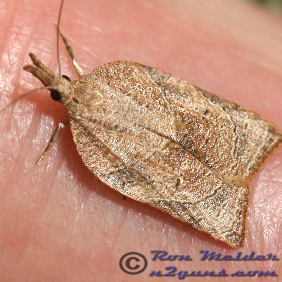 Moth - Platynota rostrana - female