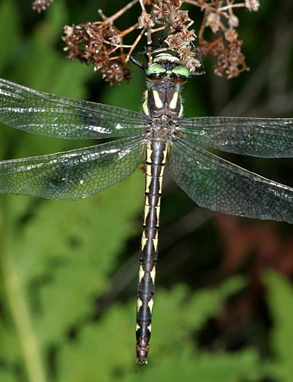 Delta-Spotted Spiketail - Cordulegaster diastatops - female