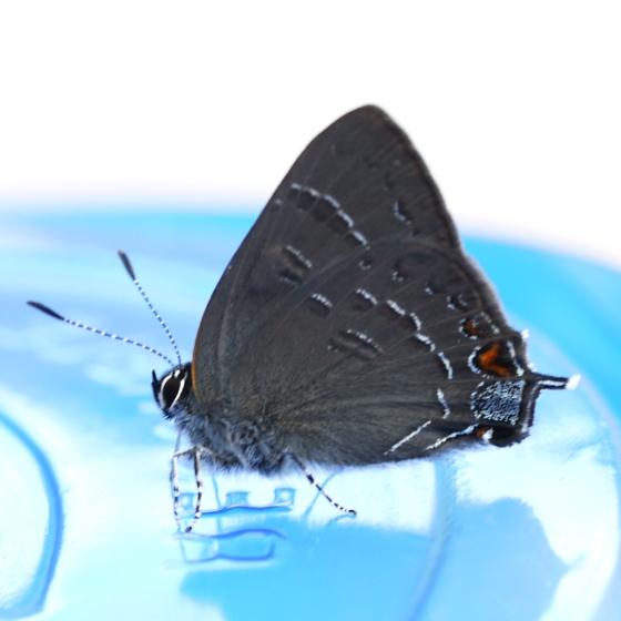 Butterfly - Satyrium calanus