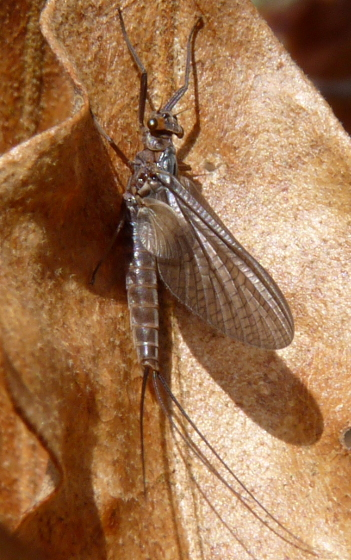 Mayfly sp. - Leptophlebia intermedia - female