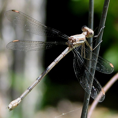 Rosy California Spreadwing - Archilestes californica - female