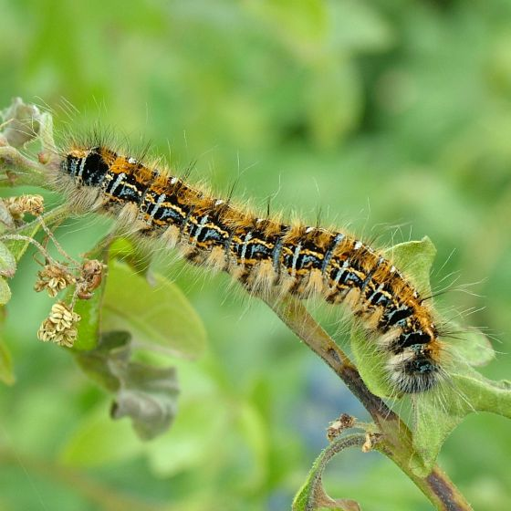 Orange and Black Caterpillar - Malacosoma