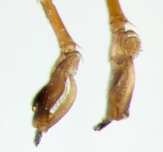 Dryinidae, pinchers - Dryinus alatus