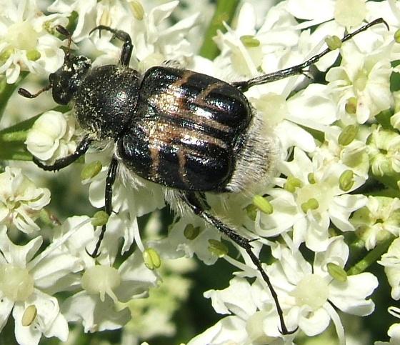 Hairy Flower Scarab - Trichiotinus assimilis