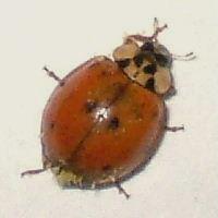 Asian Lady Beetle,Species:Harmonia axyridis - Harmonia axyridis