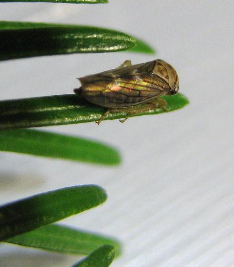 Hopper on Eastern Hemlock - Idiocerus formosus