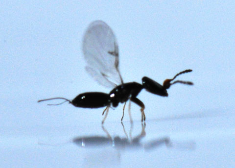 Fig wasp - Pleistodontes imperialis - female