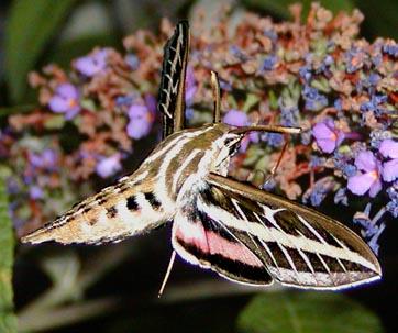 White-lined Spynix - Hyles linneata