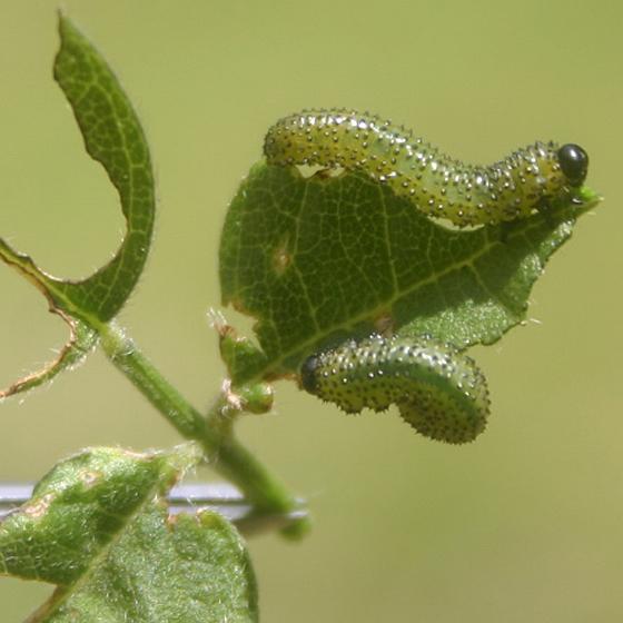 Sphacophilus apios (dark form, atrescens), larvae - Sphacophilus apios