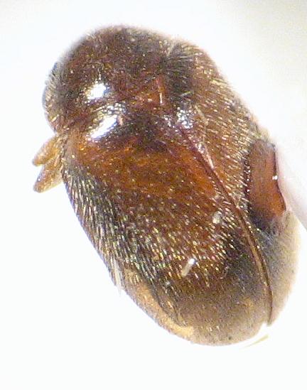 Scirtidae - Marsh Beetle - Contacyphon