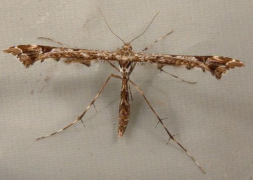 1089 Amblyptilia pica - Geranium Plume Moth 6118 - Amblyptilia pica