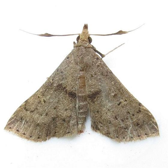 Hodges #8386 - Speckled Renia? - Hodges #8378 - Renia salusalis - male