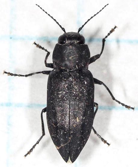 Black Beetle - Melanophila acuminata