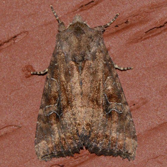 NMW2016 - Moth 46 - Loscopia velata
