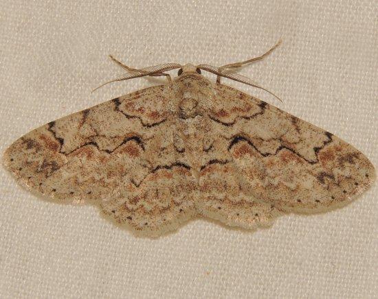 defectaria ? - Iridopsis larvaria - male
