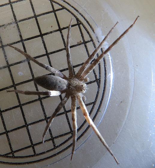 wolf spider? - Pisaurina mira - male