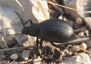 Black beetle--ground or darkling? - Eleodes goryi