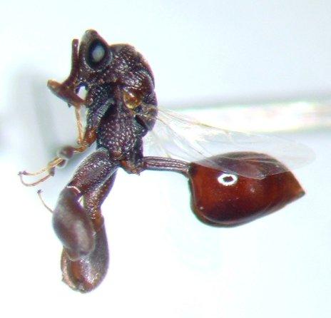 Chalcid 2 - Epitranus clavatus - female