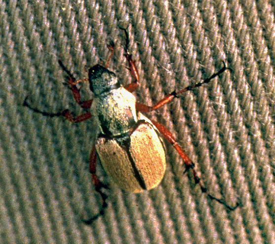 Rose Chafer Beetle - Macrodactylus subspinosus