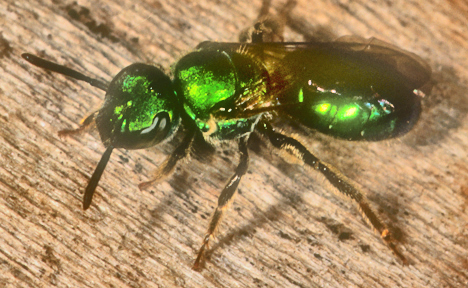 1287005 green halictid bee - Augochlora pura - female
