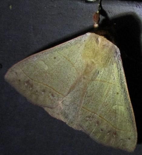 moth - Panopoda rufimargo