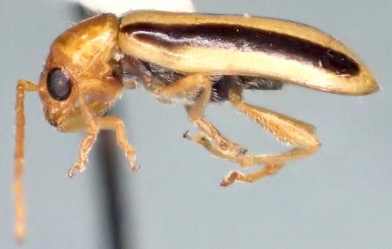 Synetocephalus bivittatus? - Synetocephalus