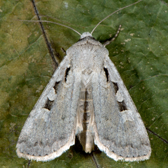 Unknown Moth - Euxoa tristicula
