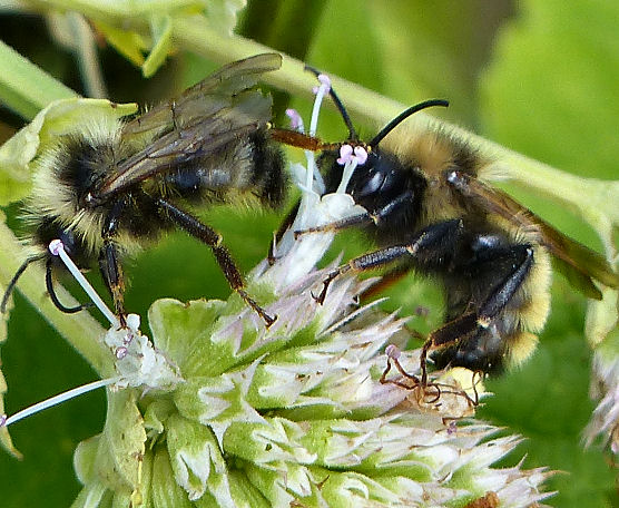 Bumble bees - Bombus - male - female