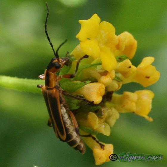 Margined Leatherwing - Chauliognathus marginatus