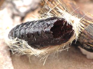 Edward's Wasp Moth - Lymire edwardsii