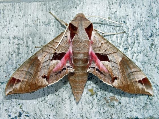 7861 Achemon Sphinx- Eumorpha achemon - Eumorpha achemon