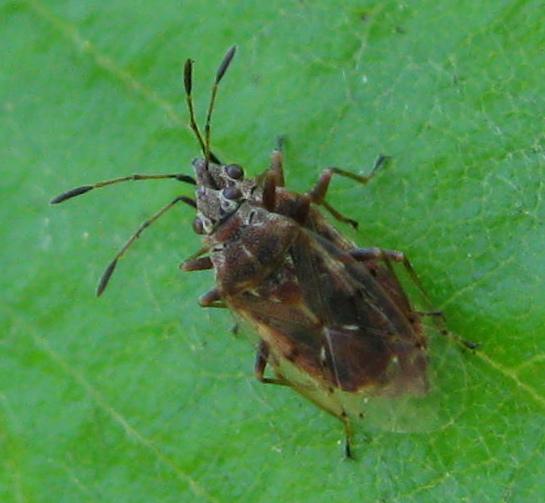 Birch catkin bugs - Kleidocerys resedae - male - female