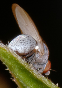 tiny gray fly - Leucopis