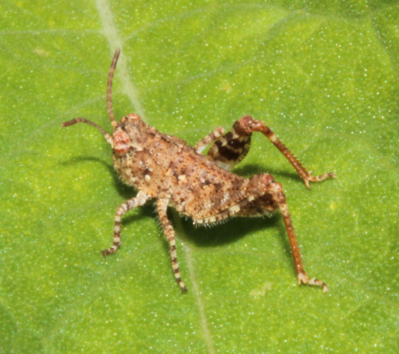 Oedipodinae (Band-winged Grasshopper) nymph - Spharagemon collare