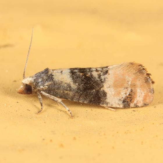 small Tortricid - Thyraylia nana