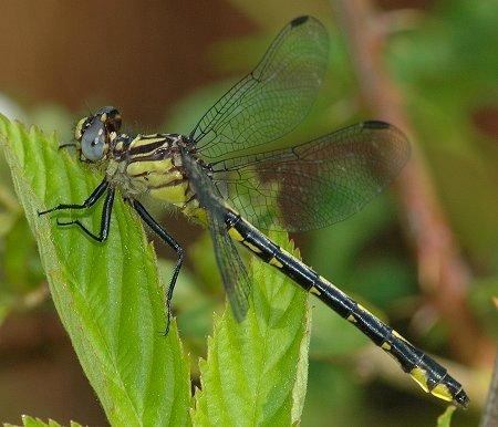 Piedmont Clubtail - Hylogomphus parvidens - female