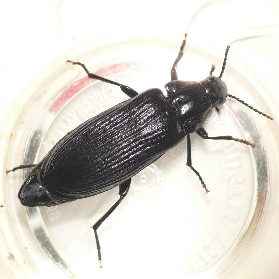 False darkling beetle - Melandrya striata