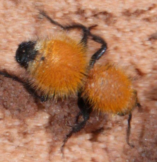 Yellow Velvet Ant Yellow Velvet Ant