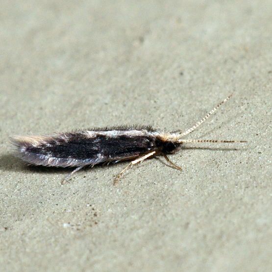 Microcaddisfly