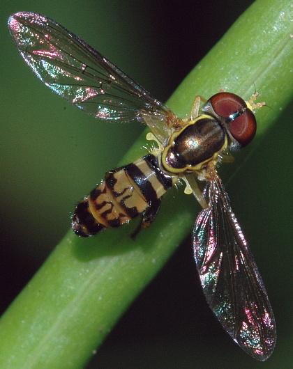 Toxomerus flower fly - Toxomerus geminatus - male