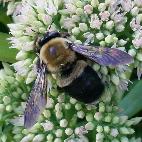 bombus sp - Xylocopa virginica - male