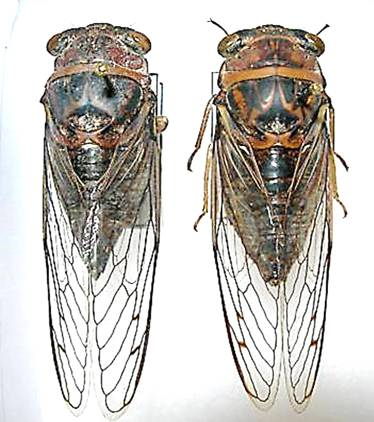 Tibicen figuratus - Megatibicen figuratus - male - female